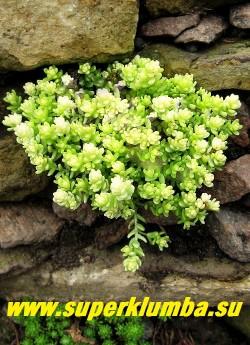 """ОЧИТОК ЕДКИЙ """"АУРЕУМ"""" (Sedum acre  f.aureum). посадка  между камней.  НОВИНКА! ЦЕНА 150-200 руб (1 деленка)"""