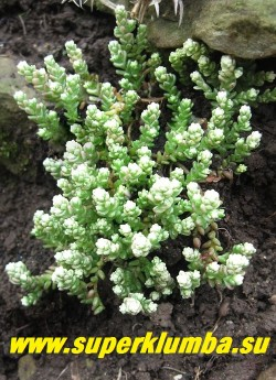 """ОЧИТОК ЕДКИЙ """"ВАРИЕГАТУМ"""" (Sedum acre  f.variegata) сорт с белыми концами побегов, особенно яркими весной,  образует дернинки до 20 см в поперечнике и до 6 см в высоту. Стебли ветвистые, густо усаженные мясистыми, темно-зелеными расположенными в очередном порядке, голыми, продолговатыми листьями. НОВИНКА! НЕТ В ПРОДАЖЕ"""