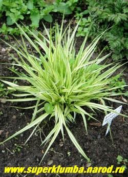 """МОЛИНИЯ ГОЛУБАЯ """"Вариегата"""" (Molinia coerulea var. variegata) светло-зеленая листва с продольными широкими кремово-белыми полосами , формирует аккуратный кустик высотой до 40 см, неприхотлива и зимостойка , но нарастает не спеша. ЦЕНА 250 руб"""