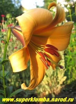 Лилия АФРИКАН КУИН (Lilium African Queen) трубчатая, цветки крупные, оранжевого тона, пониклые с сильным ароматом, цветет в августе, высота до 110 см, ЦЕНА 200 руб (1 шт)