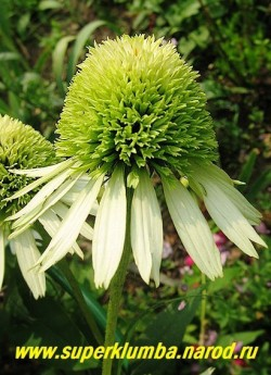 """Эхинацея """"КОКОНУТ ЛАЙМ"""". (Echinacea ''Coconut Lime'') Лимонно-зеленая махровая шапочка над белоснежной опущенной юбочкой из язычковых цветков, прочные стебли, высота до 70 см, цв. июль-август, очень обильное цветение. ЦЕНА 300 руб (1 дел)"""