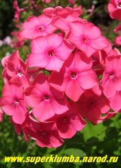 Флокс метельчатый ПИНК ЭТТРЕКШН (Phlox paniculata Pink Attraction) Jan Verschoor, С, 60/3,8. Насыщенно-розовые цветы с маленьким малиновым глазком, крупные ветвистые плотные соцветия, обильное цветение. ЦЕНА 200 руб (1 шт) или  400 руб (кустик: 3-4 шт)