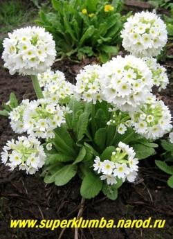 "Примула мелкозубчатая ""БЕЛАЯ КРУПНОЦВЕТКОВАЯ"" (Primula denticulata ''Alba'')  фото куста. ЦЕНА 250 руб (штука)"