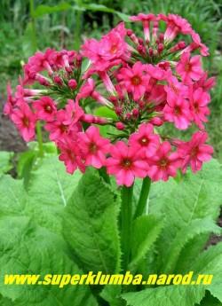 Примула японская 'МИЛЛЕРЗ КРИМСОН'  (Primula japonica'Miller's Crimson') высота до 30 см, малиново-красные цветы собраны в многоярусное (5-7 ярусов)  соцветие, цветет июнь-июль, ЦЕНА 250 руб (штука)