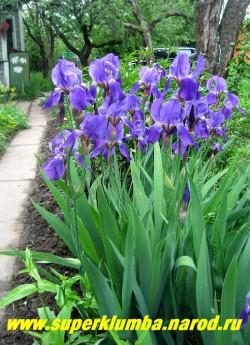 ИРИС ГЕРМАНСКИЙ  ЛИЛОВЫЙ   (Iris germanica) в моем саду в мае. ЦЕНА 100 руб  -1 шт  или  150 руб (кустик   2-3 шт )