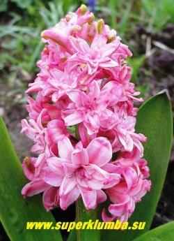 """Гиацинт махровый """"ДАБЛ ЭРОС"""" (Hyacinthus orientalis """"Double Eros"""") махровые цветы насыщенно фиолетово-синего цвета с более темной полосой по центру лепестков, высота 10-15 см. НЕТ  В ПРОДАЖЕ"""