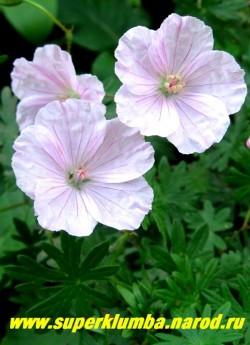 """ГЕРАНЬ КРОВАВО-КРАСНАЯ """"Вижн Пинк"""" (Geranium sanguineum """"Vision Pink"""") Цветы крупным планом. Цветет с июня до августа.  ЦЕНА 250 руб (1 шт)"""