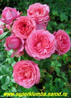 """РОЗА """"ЛЕОНАРДО ДА ВИНЧИ"""" Флорибунда. Розово-сиреневые густо-махровые цветки, в центре квартированные, диаметр цветка 7см, цветет букетом из 5-7 цветов, высота до 60см, Очень красивая и неприхотливая. НЕТ В ПРОДАЖЕ"""