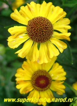 """ГЕЛЕНИУМ ОСЕННИЙ """" ЖЕЛТЫЙ"""" (Helenium autumnale) цветок крупным планом. НОВИНКА. ЦЕНА 150 руб (делёнка)"""