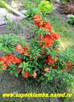 """АЙВА ЯПОНСКАЯ """"Оранжевая"""" (Chaenomeles japonica)  невысокий густооблиственный кустарник с плотной кроной. Молодые листья темно-зеленые. Цветки крупные, диаметром 3-4 см, оранжево-красные, растет медленно, высота 40-60см, цветет в мае, ЦЕНА  350 руб НЕТ НА ВЕСНУ"""