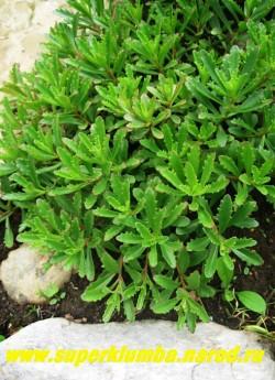 ОЧИТОК МИДДЕНДОРФА вар. диффузум  (Sedum middendorffianum var. diffusum) близкий к  о. камчатскому вид отличающийся  более   узкими листьями, по краю редкозубчатыми, зелеными с красноватым краем. Высота куртины до 15 см. ЦЕНА 150 руб