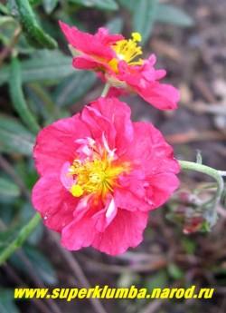 """ГЕЛИАНТЕМУМ или СОЛНЦЕЦВЕТ """"малиновый полумахровый"""" (Helianthemum х hybridum) карликовый полукустарничек обильноцветущий в июне-июле махровыми малиновыми цветами, диаметром 3 см., высота 15-20см, не любит тени и застоя влаги. НОВИНКА!  ЦЕНА 400-500 руб. (3-4 летки)"""