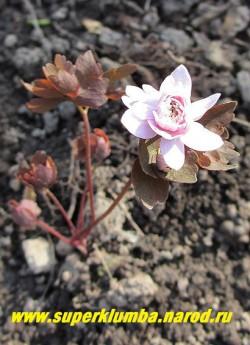 "АНЕМОНЕЛЛА ВАСИЛИСТНИКОВАЯ ""Камео"" (Anemonella thalictoides ""Cameo"") Молодая листва окрашена в розово-малиновые тона. НОВИНКА! ЦЕНА 1500 руб (1 шт)"