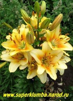 Лилия ЛУКСОР (Lilium Luxor) Азиатский гибрид, цветки светло-желтые с оранжевым румянцем и коричневым крапом в горле, цветет июль, высота до 100 см., Неприхотливая, обильноцветущая.   НЕТ В ПРОДАЖЕ