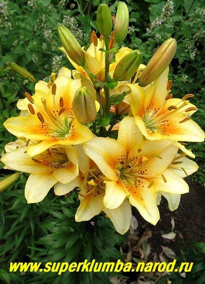 Каталог лилия ла гибриды