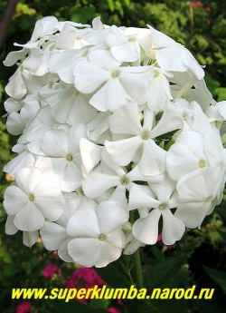 Флокс метельчатый АНЯ ПОПОВА (Phlox paniculata Anya Popova) Попов А.П., С, 80/4,0. Чисто белый, лепестки чуть волнистые. Соцветие округло-коническое, плотное. Куст прочный, компактный. Считается одним из лучших белых сортов. ЦЕНА 200 руб (1 шт)  или 400 руб (кустик: 3-4 шт)