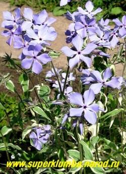"""цветы Ф. РАСТОПЫРЕННОГО """"Монтроуз Триколор"""" (Phlox divaricata """"Montrose Tricolor"""") Цветы лавандовые с   фиолетовым глазком, крупные, с тонким нежным ароматом, можно использовать на срезку. ЦЕНА 300 руб (1 дел)"""