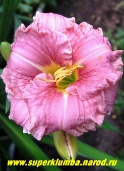 Лилейник РОМАНТИК РОУЗ (Hemerocallis Romantic Rose) совершенной круглой формы сиренево розовый цветок с сильно-гофрированным краем более светлого оттенка и зеленым горлом, диаметр цветка 10 см, высота 45-60 см, цветет июль-сентябрь. ЦЕНА 300 руб (1 шт)