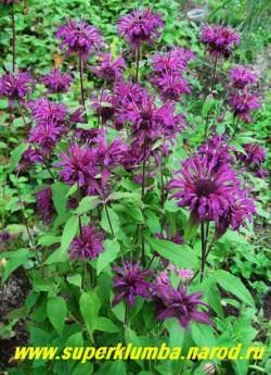 """куст МОНАРДЫ ГИБРИДНОЙ №2 """"фиолетовой"""" в моем саду. Все монарды хорошо растут на солнце, переносят полутень. Предпочитают легкие известковые почвы, кислые и болотистые почвы монард непригодны. ЦЕНА 300 руб (1 дел) НЕТ  НА ВЕСНУ."""