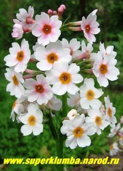 """Примула японская """"РОВЕЛЛЕН РОУЗ"""" (Primula japonica """"Rowallan Rose"""") канделябровая бело-розовая, высота до 35 см, цветы собраны в многоярусное соцветие (5-7 ярусов), цветет июнь-июль, ЦЕНА 230 руб (штука)"""