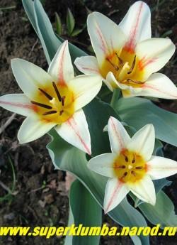 """Тюльпан """"ИОГАНН ШТРАУС"""" (Tulipa Johann Strauss)  тюльпан Кауфмана, красивая форма цветка, необычный полосато раскрашенный лист, ранний цв. апрель-май. ЦЕНА 70 руб (1 лук). НЕТ В ПРОДАЖЕ"""