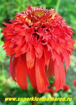 """Эхинацея """"ХОТ ПАПАЙЯ"""" (Echinacea """"Hot papaya"""") ярчайшие цветы с крупным сильномахровым помпоном оранжево-красных оттенков, цветет с июля по сентябрь. Высота 70см. НОВИНКА! ЦЕНА 450 руб (делёнка)"""