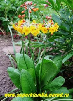 ПРИМУЛА БУЛЛЕЗИАНА (Primula x bullesiana) канделябровая, редкая желто-оранжевая примула, цветы собраны в многоярусное (5-7 ярусов) соцветие высота 25-30 см, цветет июнь-июль, Зимует под легким укрытием.  ЦЕНА 350 руб (штука)
