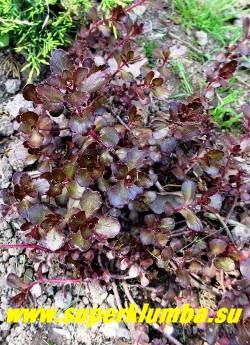 ОЧИТОК ЛОЖНЫЙ «Вуду» (Sedum spurium «Voodoo») изысканный и редкий сорт с  темно-пурпурными  зимующими листьями. Цветет в  июне-июле темно-пурпурными цветами, высота до 15 см. ЦЕНА 250 руб (1 деленка)