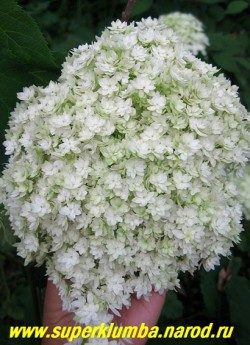 """ГОРТЕНЗИЯ ДРЕВОВИДНАЯ """"Хайес старбёст"""" (Hydrangea arborescens ''Hayes Starburst'') удивительная махровая гортензия с очень крупными, до 30 см в диаметре, круглыми соцветиями из белых махровых цветков. Цветет очень длительно  с июля по октябрь.   Нарастает довольно медленно, но результат того стоит!. Высота 1-1,5м.  ЦЕНА 450-1500 руб (3-7 летки)"""