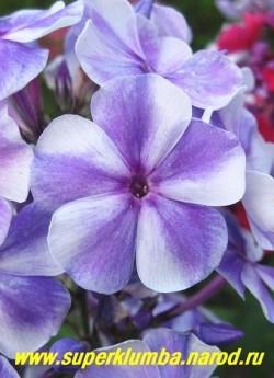 Флокс метельчатый ГЖЕЛЬ (Phlox paniculata Gzhel) Цветы крупным планом.ЦЕНА 250 руб (1 шт) или 500 руб  (куст: 3-4 шт)
