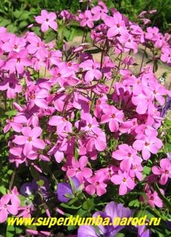 """ФЛОКС СТОЛОНОНОСНЫЙ """"Purpurea""""(Phlox stolonifera """"Purpurea"""") образует дернинки из зимующих листьев . Цветки   розово-лиловые с ярко-желтыми тычинками, диаметром 2 см, собраны в щитки, высота с цветоносами 20-25 см, без 5  -10 см, цветет в начале июня, предпочитает полутень, разрастается хорошо . НОВИНКА! ЦЕНА 200 руб (1 дел)"""