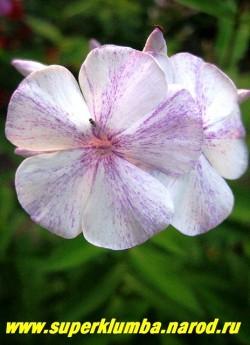 Флокс метельчатый СЛЕДЫ (Phlox paniculata Sledy) Цветок крупным планом. ЦЕНА 300 руб (1 шт) или 600 руб (кустик: 3-4 шт) НЕТ НА ВЕСНУ