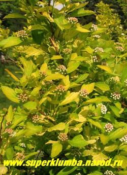 """ПУЗЫРЕПЛОДНИК КАЛИНОЛИСТНЫЙ """"АУРЕУС"""" (Physocarpus opulifolius """"Aureus"""") желтолистный, ярко-желтая листва, белые соцветия, высота до 3 м, цветет в июне, хорошо сочетается в групповой посадке с П. """"Диаболо"""" НЕТ  В ПРОДАЖЕ"""