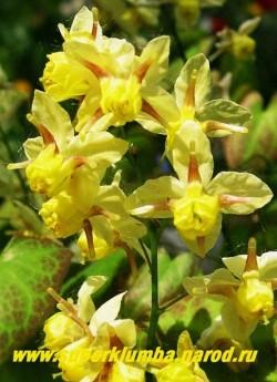 ГОРЯНКА РАЗНОЦВЕТНАЯ вар. СЕРНОЖЕЛТАЯ (Epimedium x versicolor var. sulphureum) Цветы крупным планом. ЦЕНА 250-350 руб (1 делёнка)