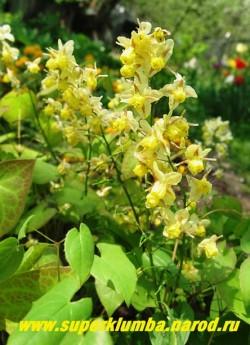 ГОРЯНКА РАЗНОЦВЕТНАЯ вар. СЕРНОЖЕЛТАЯ (Epimedium x versicolor var. sulphureum) Гибридная разновидность горянок высотой 25-35 см . Молодые листья яркоокрашены, затем зеленеют , вечнозеленые. Цветет с середины мая в течение 3 недель лимонно-желтыми цветами в пышных соцветиях. ЦЕНА 200-350 руб (1 делёнка)