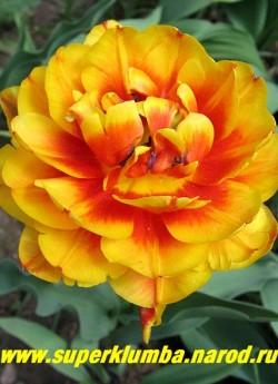 Тюльпан БОНАНЗА (Tulipa Bonanza)  махровый поздний (пионовидный), оранжево-красный с желтой каймой , долгое до 2-3 недель цветение, отличная срезка, высота 40-50 см. ЦЕНА 80 руб (1 лук)