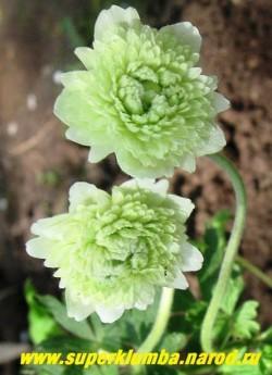 """АНЕМОНА ЛЕСНАЯ """"Флоре плена"""" (Anemone sylvestris """"Flore Pleno"""") цветы крупным планом. В начале роспуска цветы зеленовато-белые, по мере роспуска они белеют. НОВИНКА! НЕТ В ПРОДАЖЕ"""