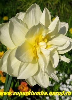 """Нарцисс """"МЭНЛИ"""" (Narcissus Manly"""") Махровый. Роскошный крупный цветок с лимонно-кремовыми лепестками и яично-желтыми выростами околоцветника по форме напоминающий кувшинку. Высота 50-60 см, диаметр до 15 см . НОВИНКА!   ЦЕНА 100 руб (1шт)"""