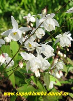 """ГОРЯНКА ПЫШНАЯ """"Нивеум"""" (Epimedium x youngianum """"Niveum"""") Цветы крупным планом. Предпочитает тень-полутень и   плодородная почва.   ЦЕНА 300 руб (1 делёнка)"""