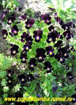 """кустик ФИАЛКИ ГИБРИДНОЙ """"Боулес блэк"""" (Viola hybrida """"Bowles Black""""). Цветение очень обильное и продолжительное, малолетка (3-4 года) но легко возобновляется самосевом. ЦЕНА 150 руб  (1 шт)"""