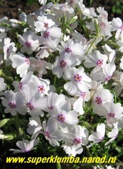 """ФЛОКС ШИЛОВИДНЫЙ """"Эмейзинг Грейс"""" (Phlox subulata """"Amazing grace"""") Вечнозелёные ковры толщиной 5-10 см, белые с   карминово-пурпурным глазком цветы, диаметр цветка 1,8 см, высота 10 см, цветет с конца мая около 30 дней.   НОВИНКА! ЦЕНА  250-300 руб  (1 кустик)  НЕТ НА ВЕСНУ"""