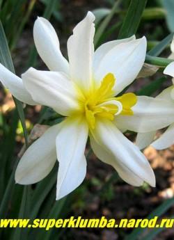 """Нарцисс """"АРГЕНТ"""" (Narcissus Argent) Махровый. Старинный сорт.  Белые узкие длинные лепестки сочетаются с ярко-желтыми выростами. Высота 35-40 см, диаметр цветка 7-8 см. Среднепоздний, неприхотливый. НОВИНКА! ЦЕНА 200 руб (3 шт)"""