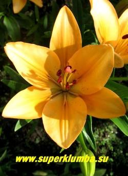 Лилия МЕНОРКА (Lilium Menorca) цветок крупным планом.   ЦЕНА 150 руб  (1шт)  НЕТ В ПРОДАЖЕ