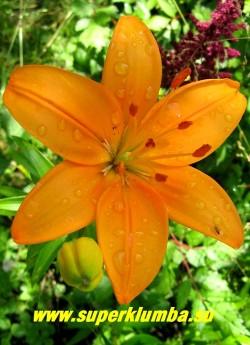 Лилия СВЕНСИ (Lilium Swansea) ЛА-гибрид. Вверхсмотрящий цветок палево-апельсинового цвета. Высота до 90 см.  ЦЕНА 100 руб (1шт)  НЕТ  В ПРОДАЖЕ