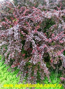 """БАРБАРИС ОТТАВСКИЙ """"Суперба""""  (Berberis х ottawiensis 'Superba')  кустарник высотой до 2,5 м, с округлыми пурпурно-красными летом, а осенью - оранжевыми листьями длиной до 5 см. Цветет в мае желто-красными цветами, собранными в кисти до 6 см длиной.  ЦЕНА 350-450 руб (взрослые кусты - 4-5 летки)"""