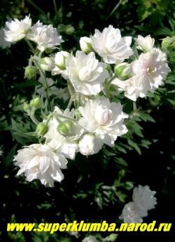 """ГЕРАНЬ ЛУГОВАЯ """"Дабл Джевел""""(Geranium pratense ''Double Jewel'') махровые крупные белые цветы немного розовеющие в центре в процессе цветения, очень обильное цветение, прочный куст высотой до 60 см.  ЦЕНА 300 руб (1 шт)"""
