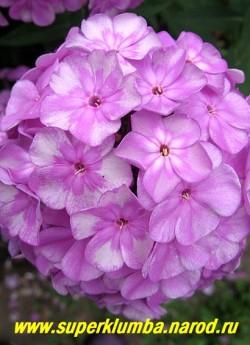 """Флокс метельчатый ЭДЕНС СМАЙЛ (Phlox paniculata Eden''s Smile) СП, 80/3. Окраска """"цветок в цветке"""". В роспуске розовато-лиловый с белой звездой, затем на лепестках появляется серебряная дымка, а в центре проступает рисунок миниатюрного лилового цветка. соцветие большое. ЦЕНА 200 руб (1 шт) или 450 руб (кустик : 3-4 шт)"""
