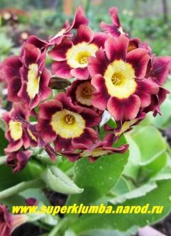 """Примула ушковая """"ВИШНЕВО-КРАСНАЯ С ЗОЛОТОЙ КАЙМОЙ"""" (Primula аuricula) вишнево-красная с золотой каймой по краю, с ароматом, высота до 15 см, цветет май-июнь. НОВИНКА! ЦЕНА 300 руб (штука)"""