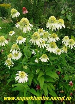 """Эхинацея """"МИЛКШЕЙК"""" (Echinacea """"Milkshake"""") фото цветущего куста.  В процессе цветения шапочки вытягиваются на конус и становятся нежно-салатовыми. ЦЕНА 350 руб (делёнка)"""