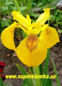 цветок ИРИСА АИРОВИДНОГО ВАРИЕГАТНОГО имеет яркий сетчатый  коричневый рисунок  на основаниях нижних лепестков. ЦЕНА 350 руб. (1 дел)